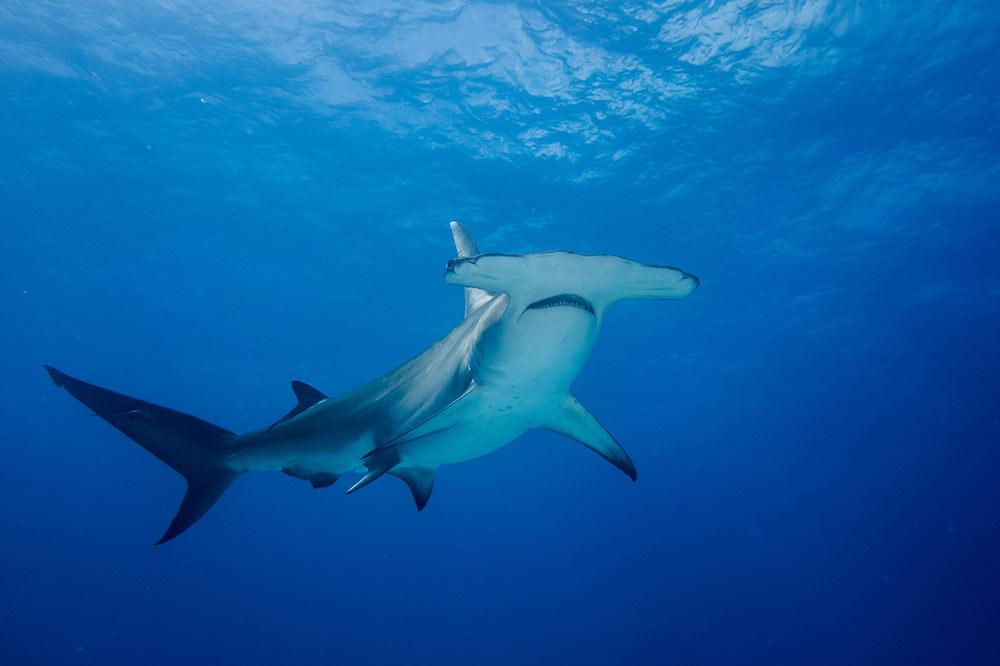 Nager avec les requins aux bahamas